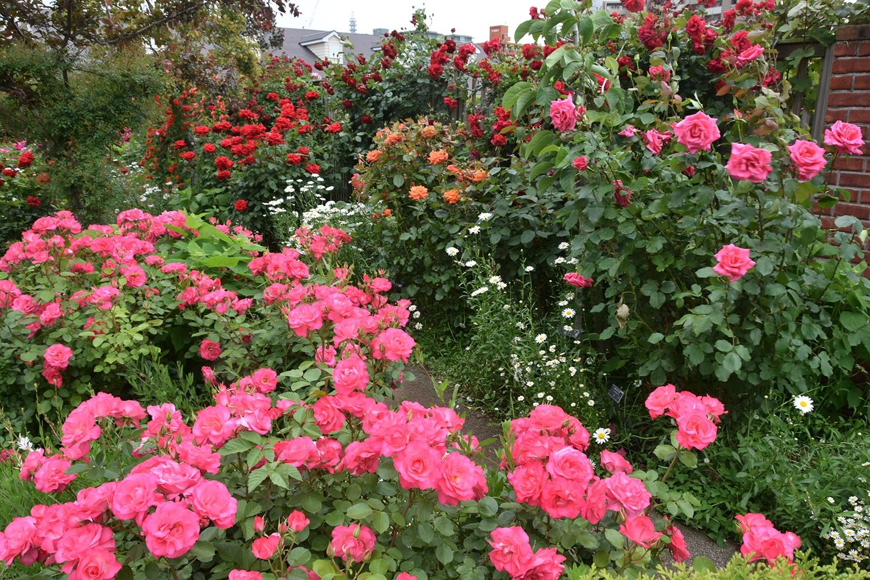 (2016/05/30〜)「薔薇咲く小径」