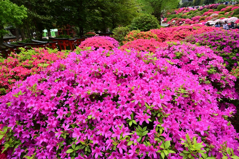 (2019/05/02〜)「文京つつじ祭り」