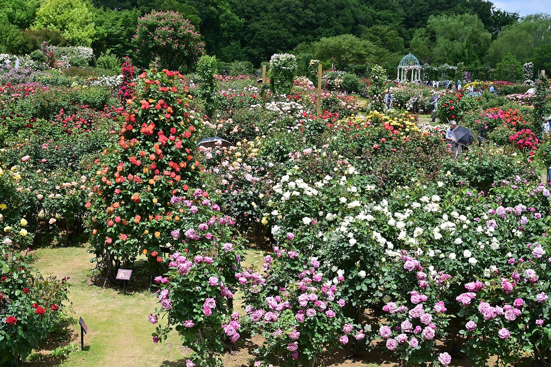 (2019/05/27〜)「春バラ香る京成バラ園」