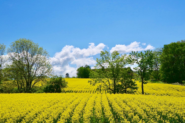 (2018/05/29〜)「幸せの黄色い丘」