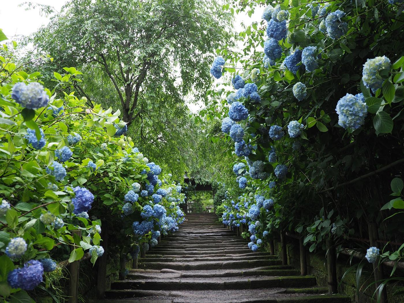 (2018/06/04~)「鎌倉明月院を彩る満開の紫陽花」