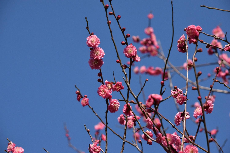 (2021年2月13日〜)春近し「紅梅」