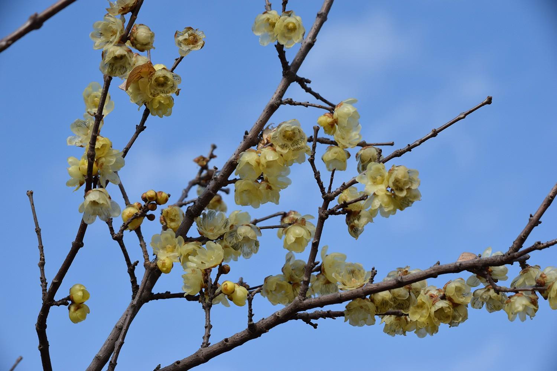 (2021年2月13日〜)春近し「ロウバイ」