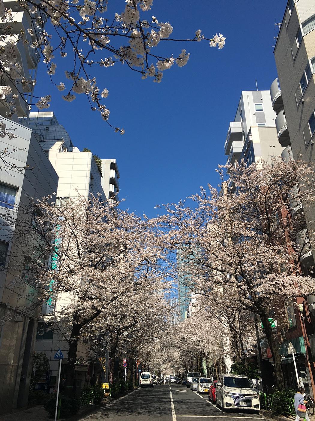 (2021年3月25日〜)「さくら通り(日本橋)の桜」