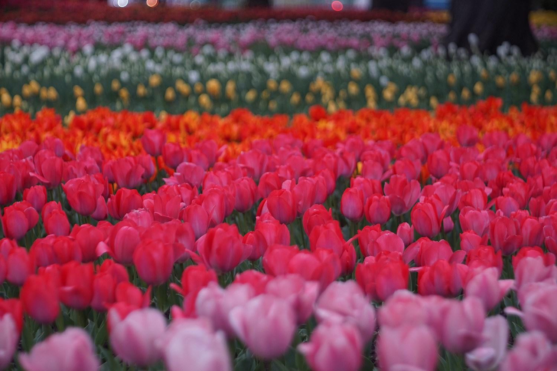 (2021年4月9日〜)「横浜公園のチューリップ」
