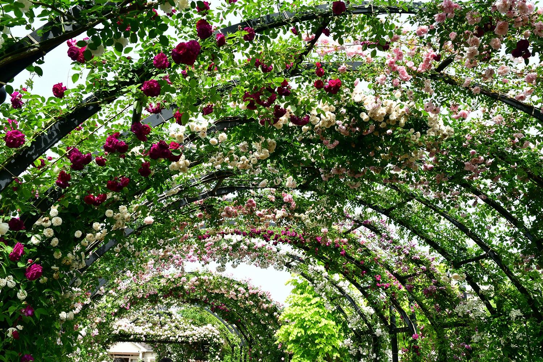 (2021年5月23日〜)「春バラ満開」