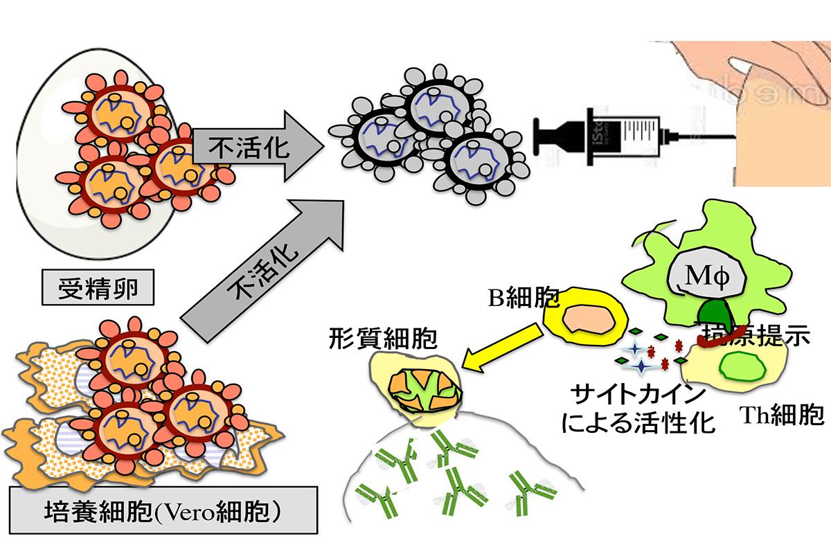 情報ネット 会務トピックス/別刷り:「新型コロナウイルス感染予防ワクチンを紐解く」(奥田克爾名誉教授、2021年4月16日寄稿・2021年5月14日改訂版)