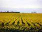 『北海道滝川市、満開の菜の花畑』