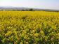 『日本一の菜の花畑』