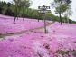 『春を告げる北国の芝桜』