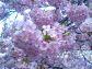 「千葉病院、図書館脇の桜」